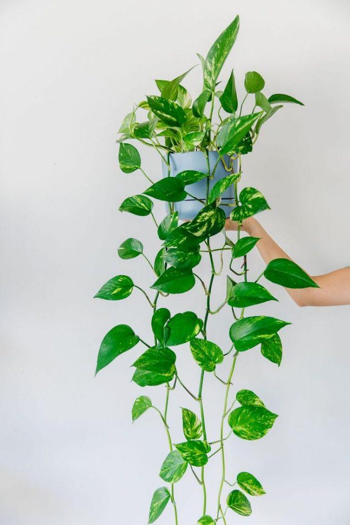 potus colgante resistente biotienda plantas