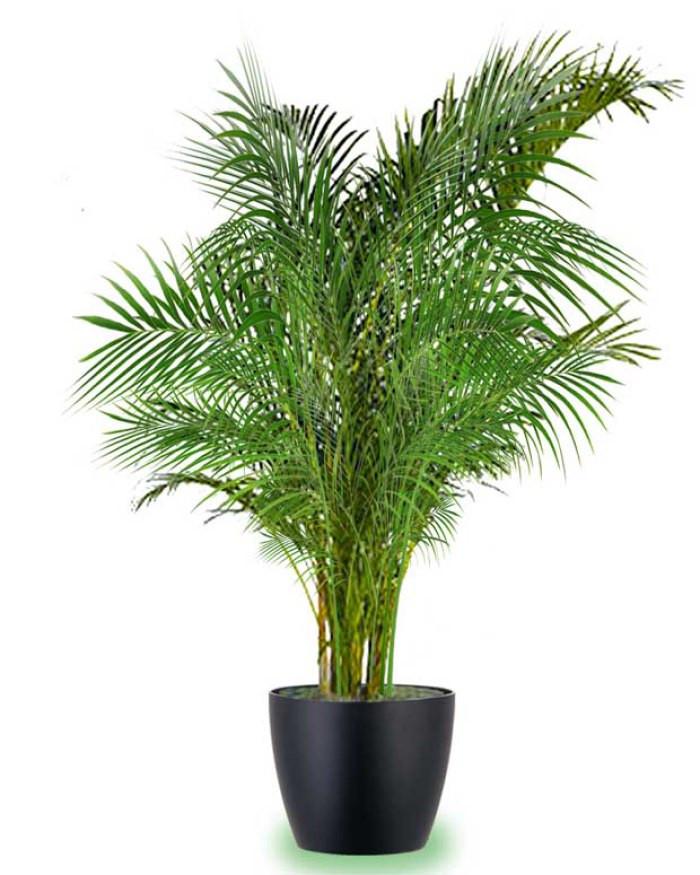 palmera areca