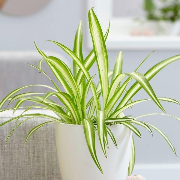 lazo de amor planta biotienda vivero online