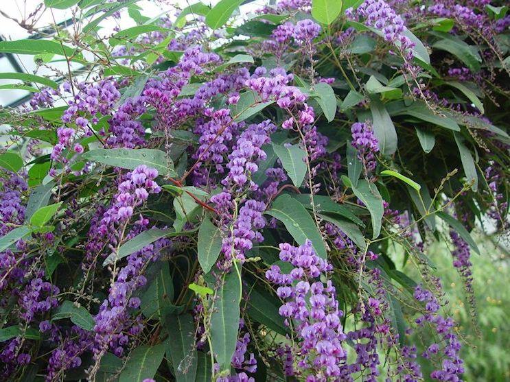 flores Handerbergia