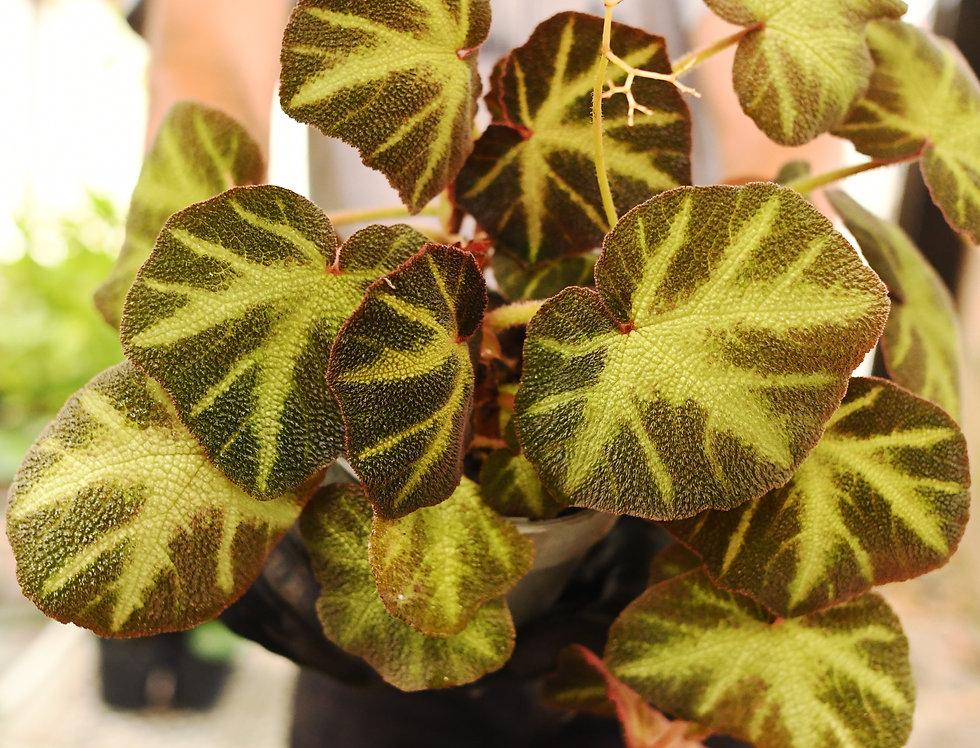 begonia planta brasil