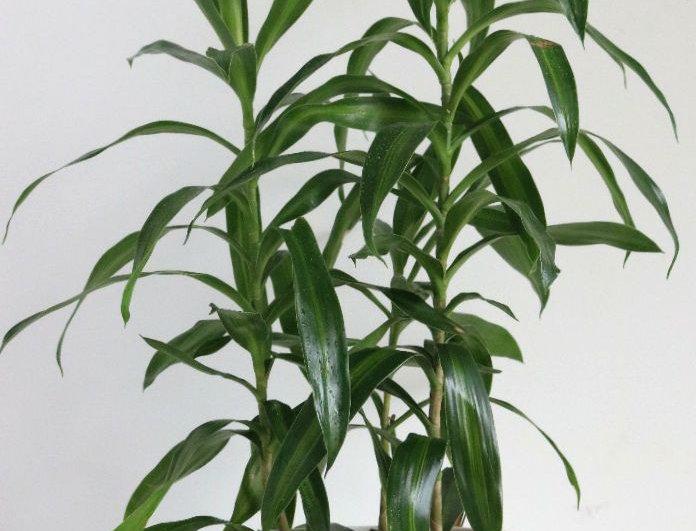 planta dracena reflexa planta de interior