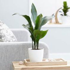aspidistra planta resistente a la poca luz biotienda plantas