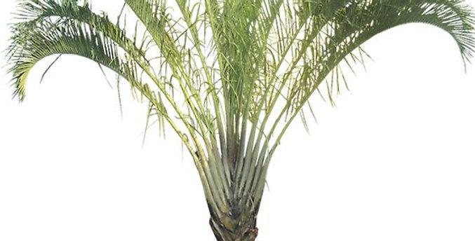 palmera triangulo