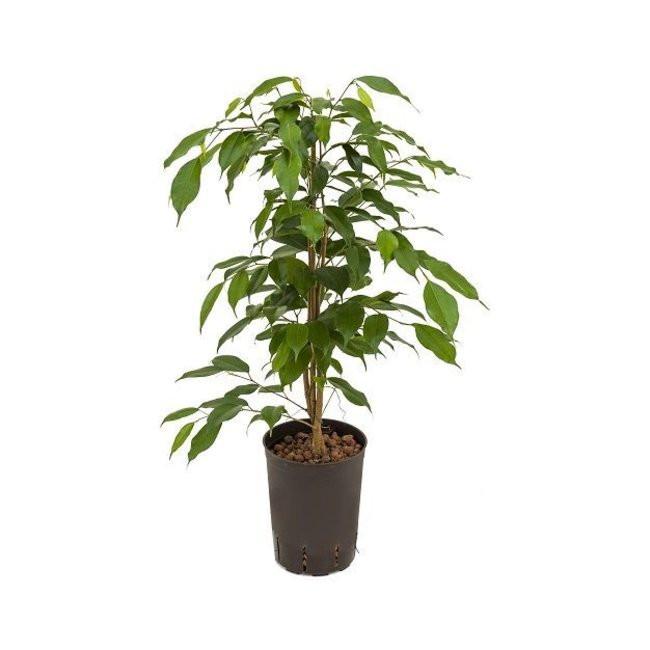 ficus planta resistente biotienda plantas vivero online