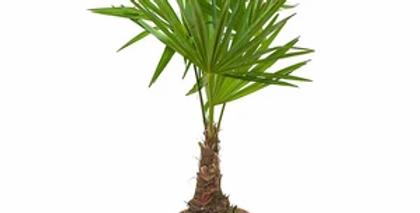 Trachycarpus fortunei biotienda plantas