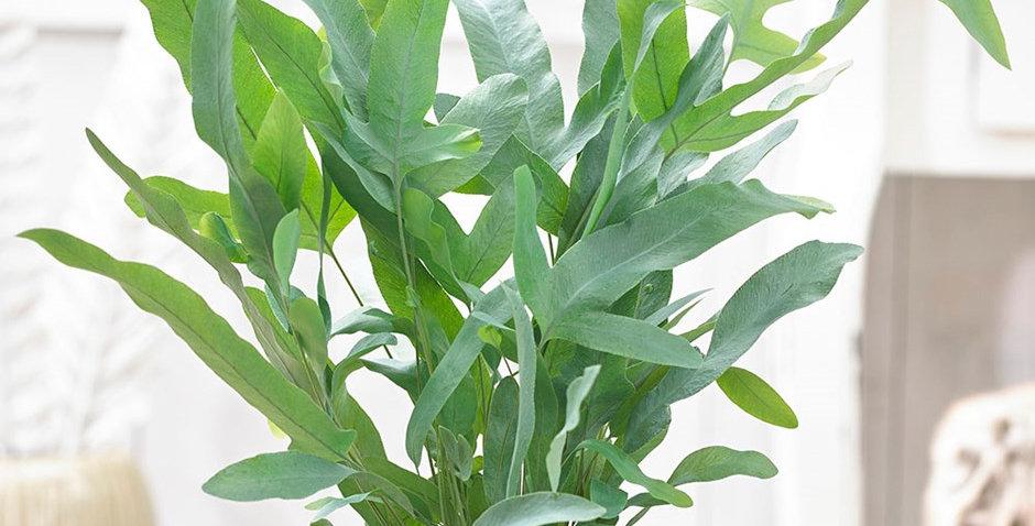 helecho azul planta de interior biotienda
