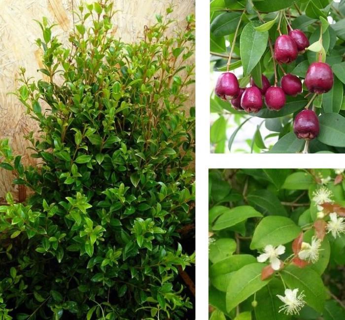 eugenia para cerco, plantas para cerco