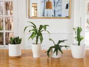 Plantas de interior que están de moda y los cuidados que necesitan