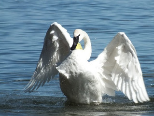 LaSalle Park Meet The Trumpeter Swans on Feb. 20