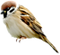 sparrow_png33 (2).png