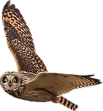 Short-eared-Owl.png