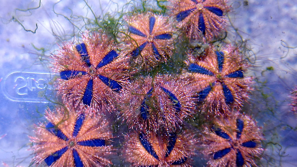(20 pack) Aquacultured red tuxedo urchins (Mespilia globulus)
