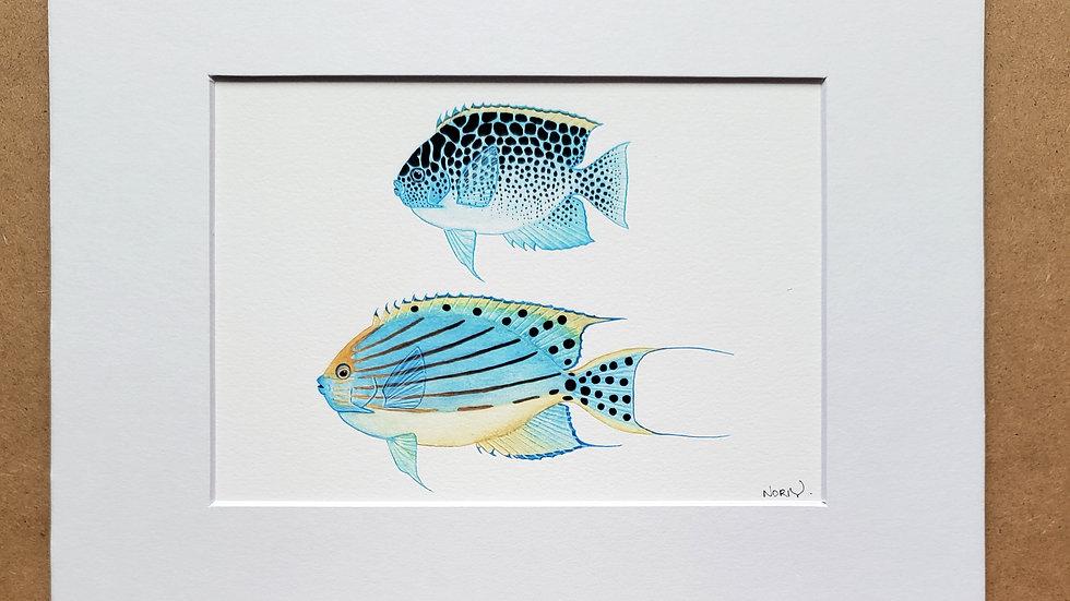 Takeuchii's swallowtail angelfish