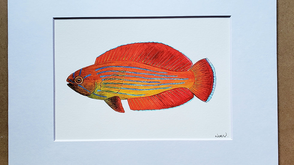 Eightline wrasse print