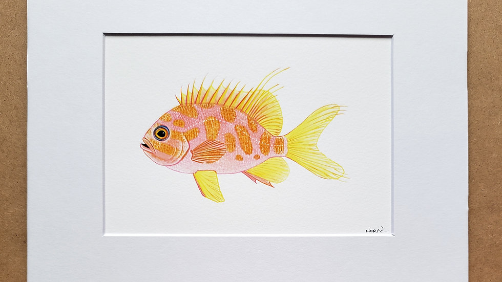 Borbonius Anthias print
