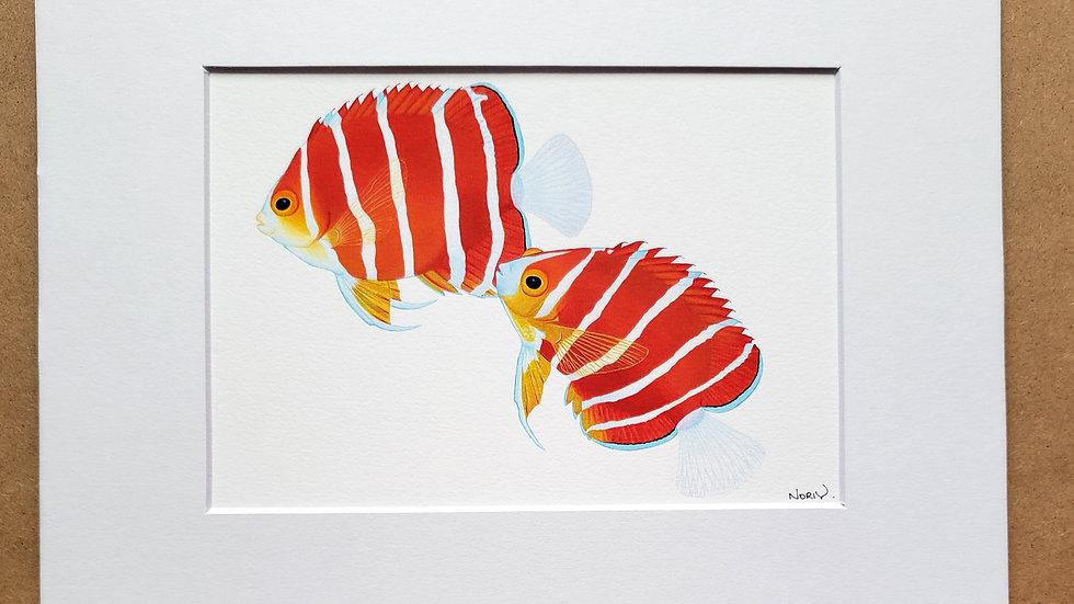 Spawning Peppermint Angelfish print