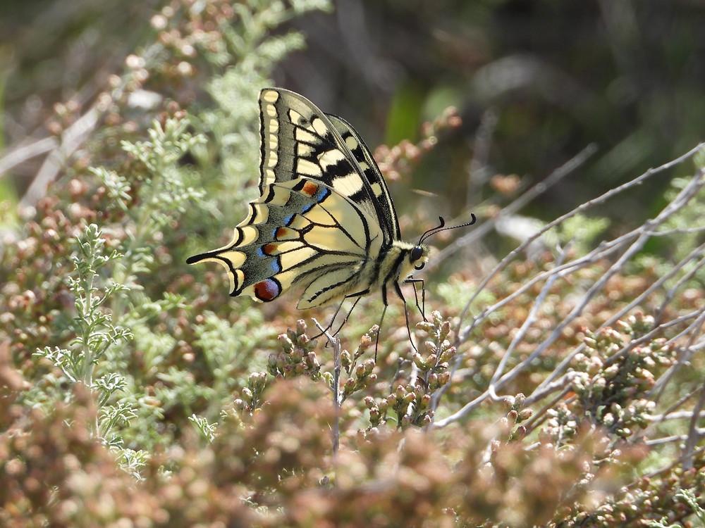 La reina de las mariposas (Papilio machaon) el rollo verde murcia