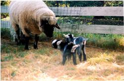 Sheepandgoat
