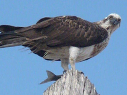 Watch the local Osprey's