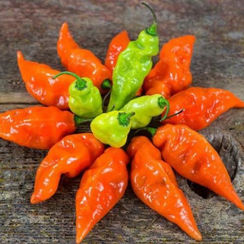 "Habanada Swt. Pepper - 4"" pot"
