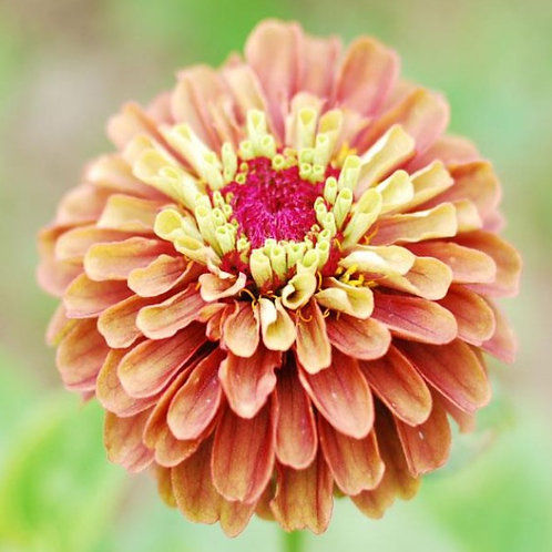 Zinnia Queen Rose Lime - 4 pack