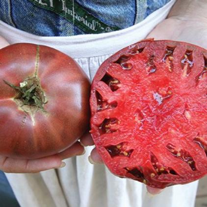 "Cherokee Purple Tomato - 4"" pot"