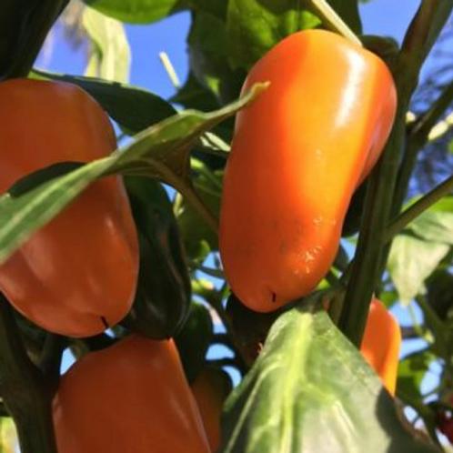 "Sweet Gold Stuffing Pepper - 4"" pot"