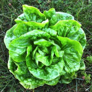Kagraner Sommer Butterhead Lettuce- 4 pack