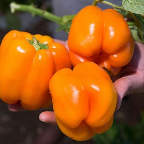"""Orange Bell Pepper - 4"""" pot"""