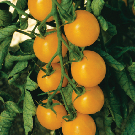 "Sweet Gold Cherry Tomato - 4"" pot"