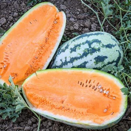 "Orangeglo Watermelon - 4"" pot"