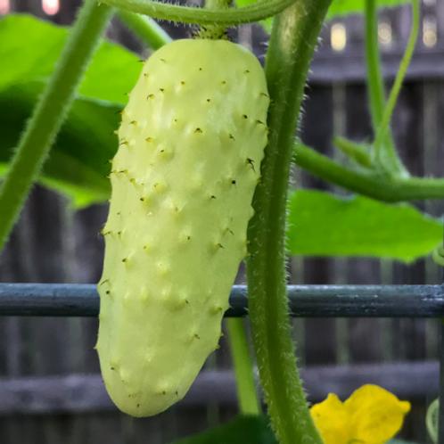 """Salt & Pepper Pickling Cucumber - 4"""" pot"""
