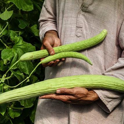 """Armenian Yard Long Cucumber - 4"""" pot"""