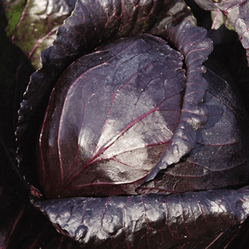 Red Express Cabbage - 4 pack