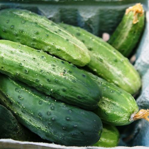 "Northern Pickling Cucumber - 4"" pot"