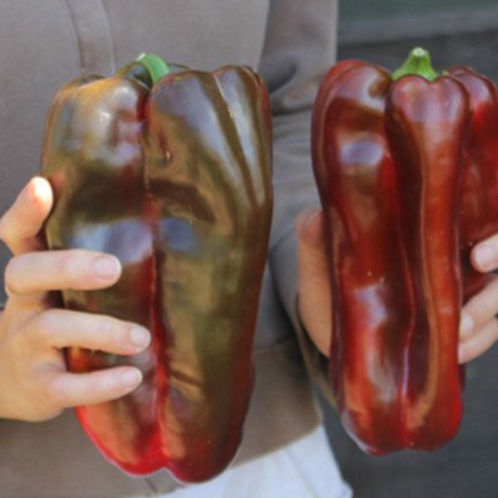 "Doux D'Espagne or Spanish Mammoth Pepper - 4"" pot"