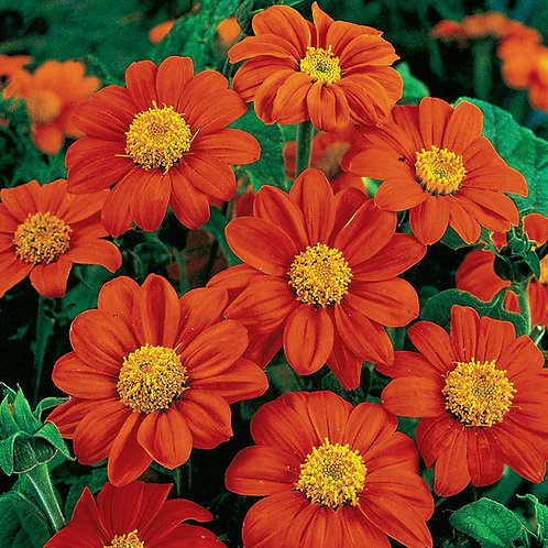Tithonia Mexican Sunflower - 4 pack