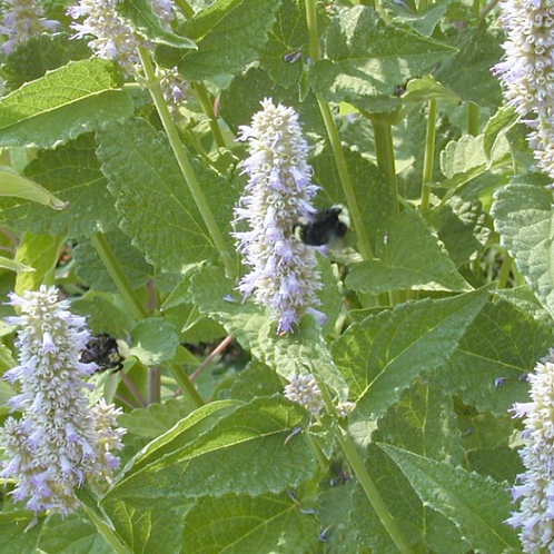 Licorice Mint (Anise Hyssop) - 4 pack