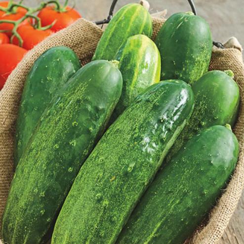 "Straight 8 Cucumber - 4"" pot"