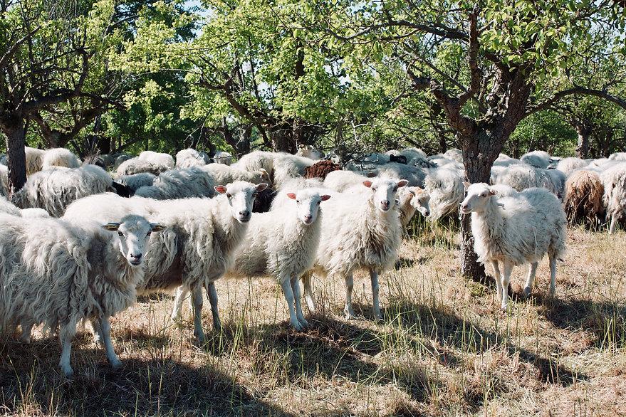 Schafe auf der Weide in der Uckermark
