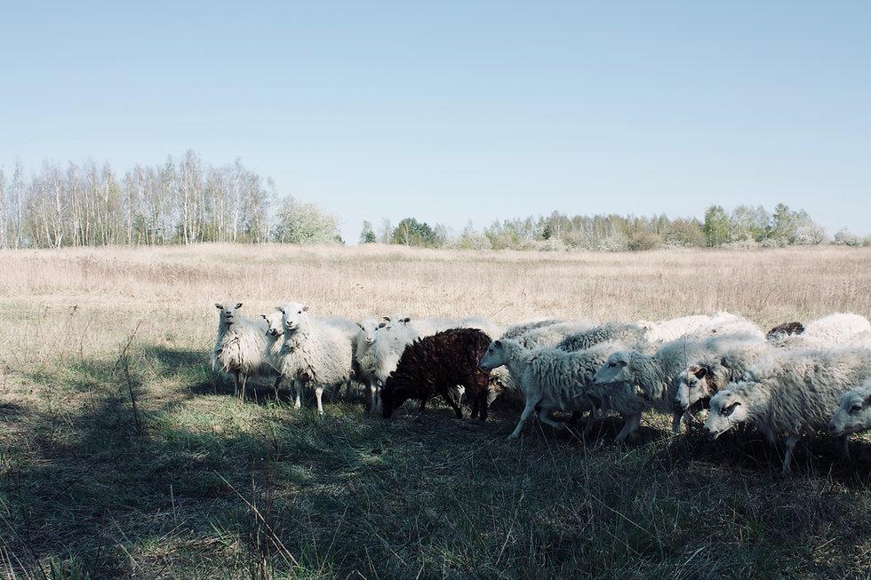 Schafe auf der Weide Kleine Schäferei Biesenbrow