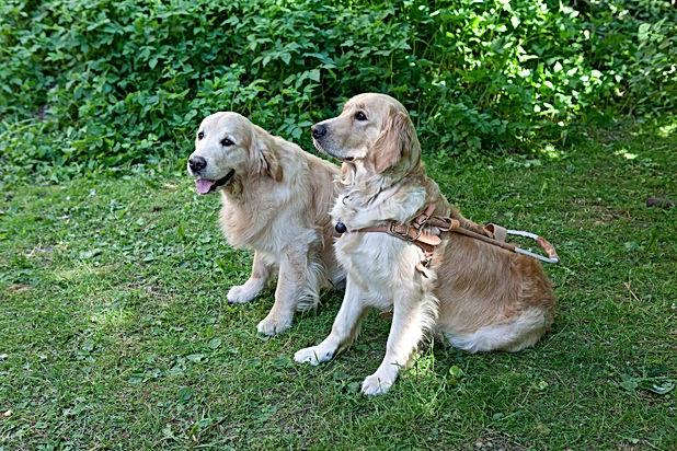 to førerhunder av rasen Golden Retriever