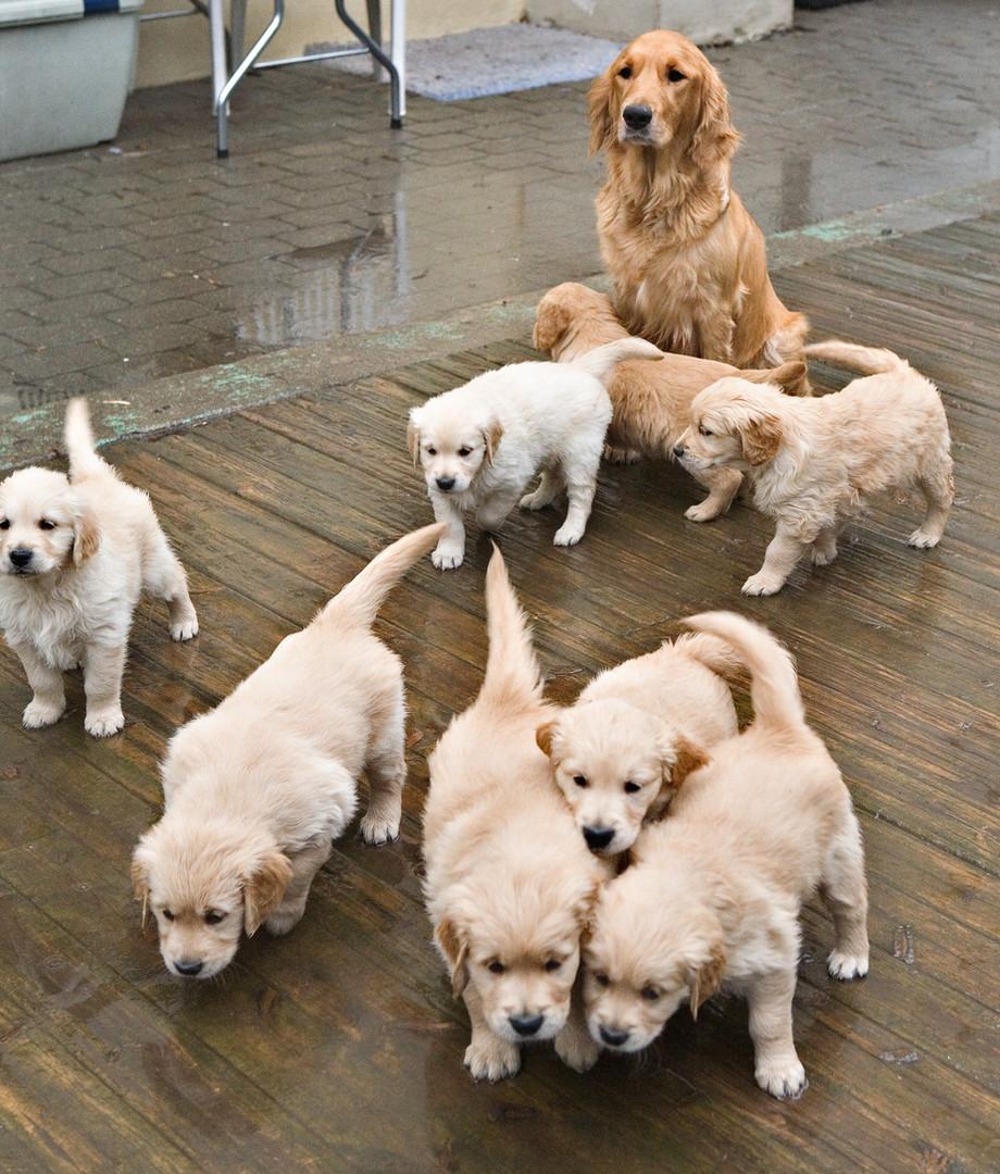 Valpekull på førerhundskolen