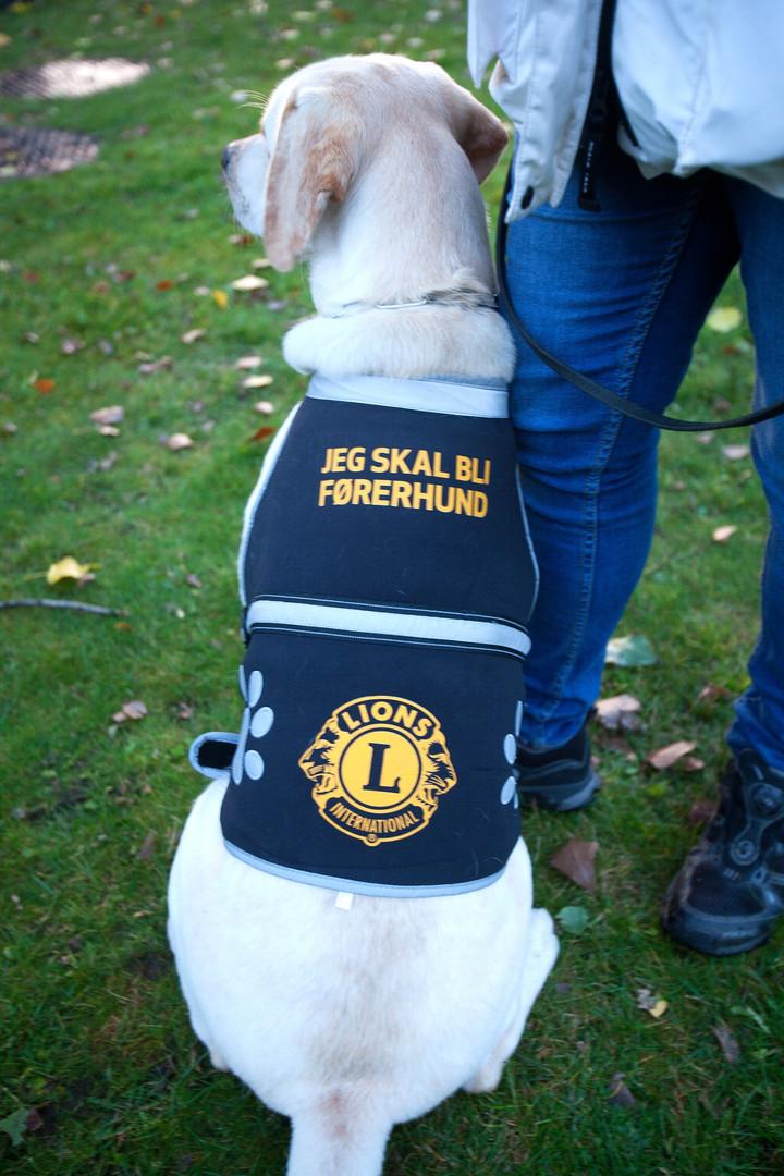 Førerhund under opplæring