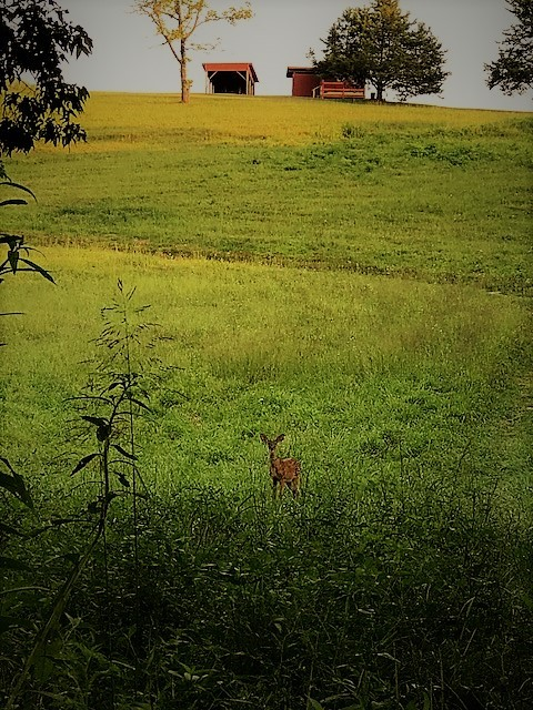 Deer by Creek