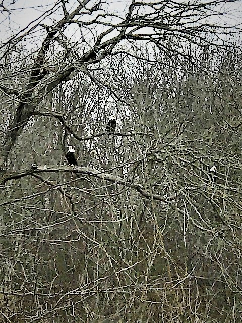 Eagles in Trees