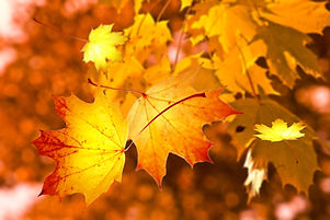 autumn-leaves-nature-maple-leaf-leaf-yel