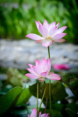 flower-lotus-flower-pretty-beautiful-pic