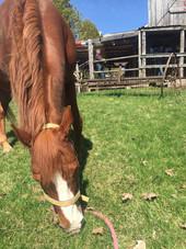 Léo, le cheval qui broutte